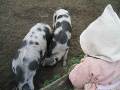 a-pigs.jpg